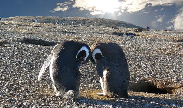 Ontmoeting tussen pinguins op het Maagdeneiland in Punta Arena, Chili