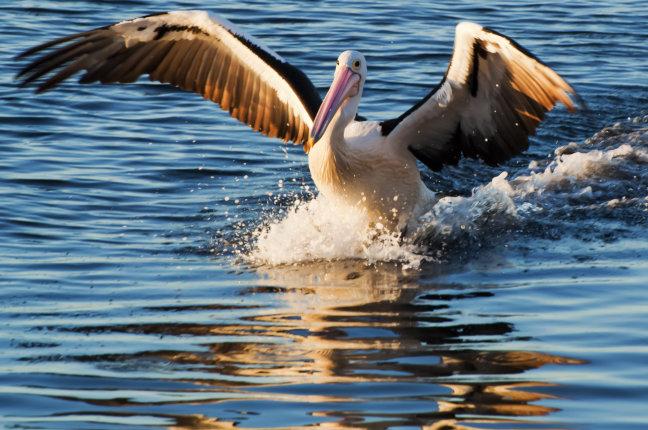 Australische pelikaan komt aanvliegen bij zonsondergang