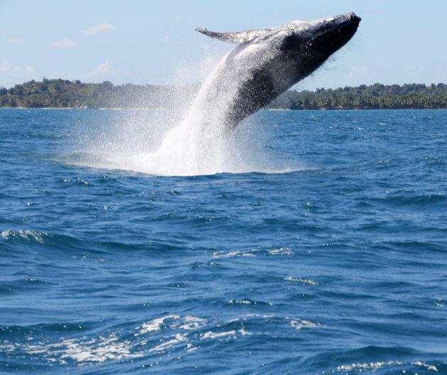 Springende bultrugwalvis
