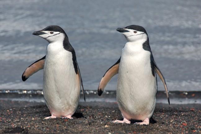 kinbandpinguins op Deception Island