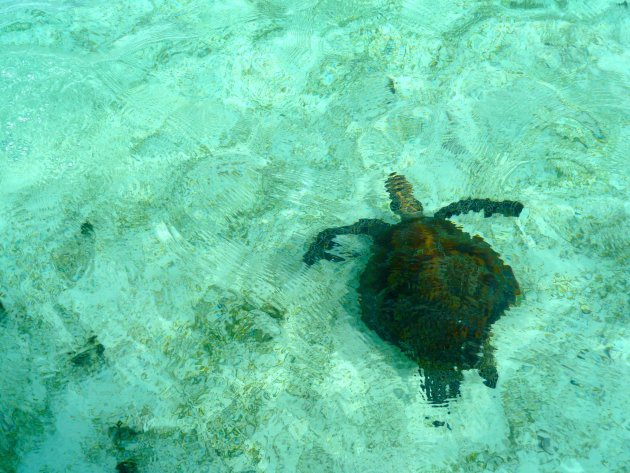Schildpad voor Phare Amadee
