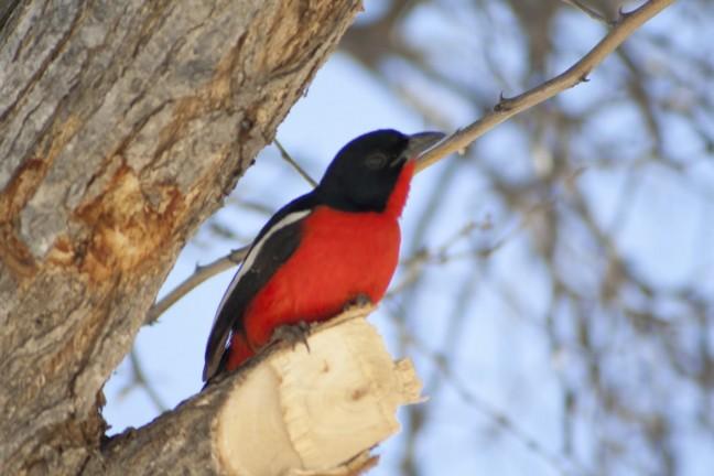 Rood vogeltje uit Botswana