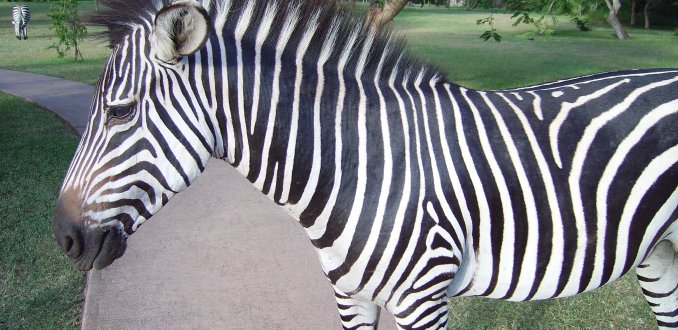 Zebra Zambia