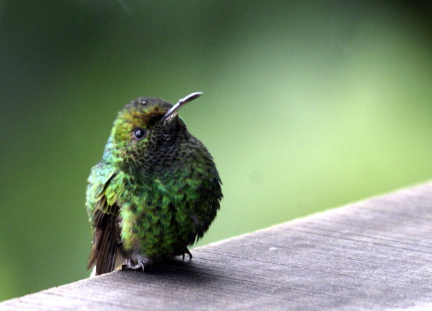 Green Thorntail.