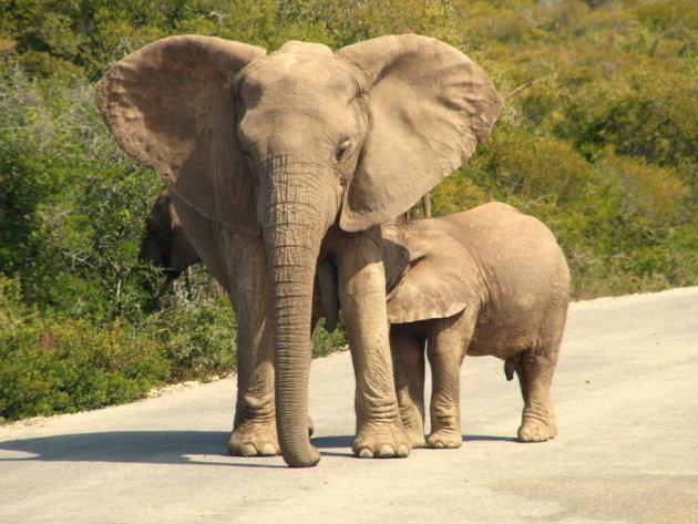 Olifantenmoeder met jong