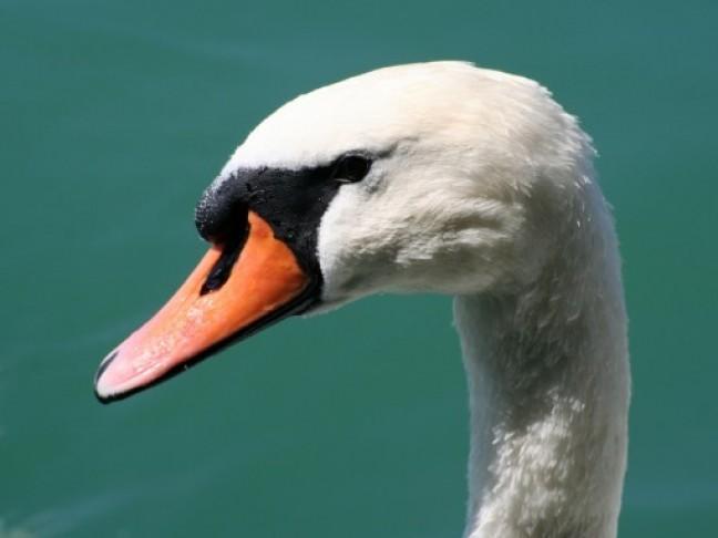 Witte zwaan in de Zurich Zee