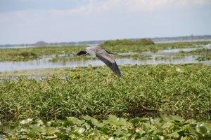 vogel in Everglades