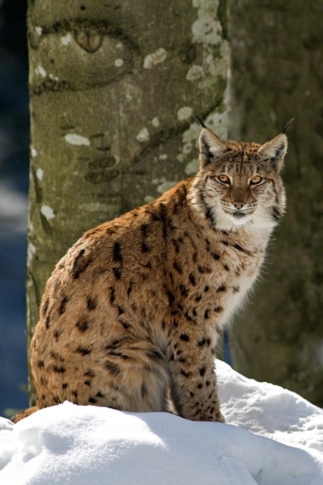 Lynx in de sneeuw in het Bayerischer Wald