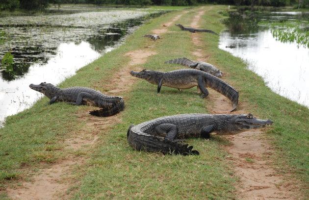 Krokodillen op de weg