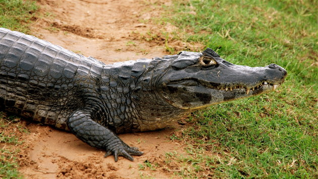 Gerrit Krokodil