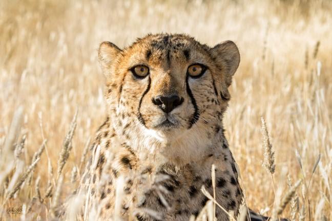Cheetah. Wie kijkt naar wie ?