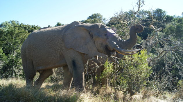 prachtige olifant