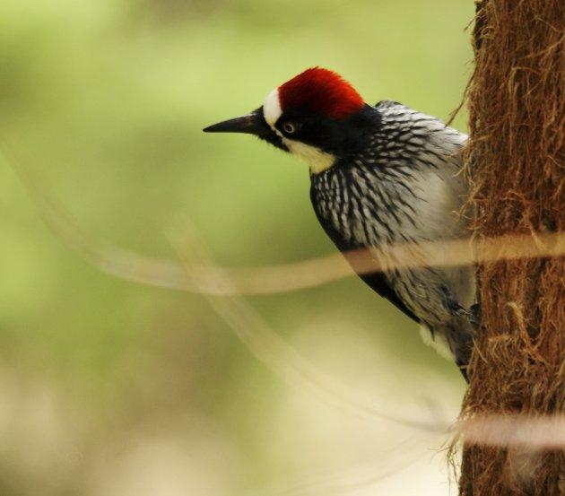 Acorn Woodpecker.