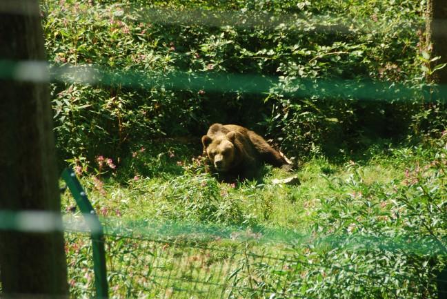beer in het berenpark in het Zwarte Woud