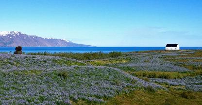 Panorama: Als de lupine bloeit