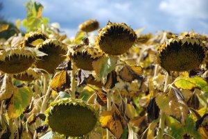 Verdorde zonnebloemen