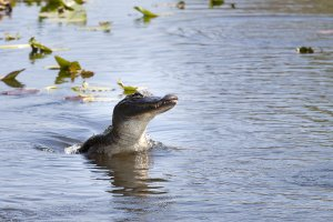Jumping gator