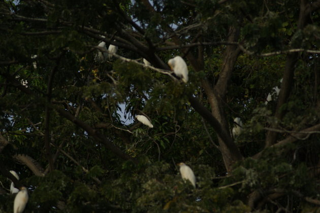 een boom vol witte reigers