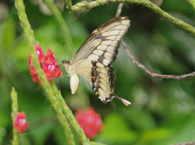 Vlinder doet zich tegoed aan stuifmeel