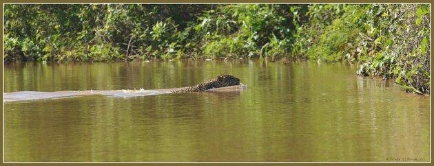 Jaguar zwemmend