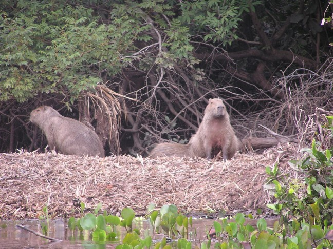 Capibara's, Pantanal