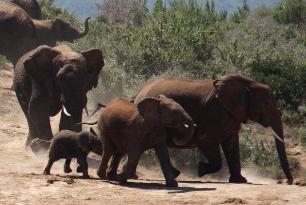 Familie Olifant aan de wandel