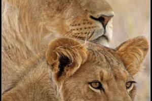 alweer een leeuw