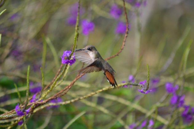 kolibrie hangend in de lucht!!!