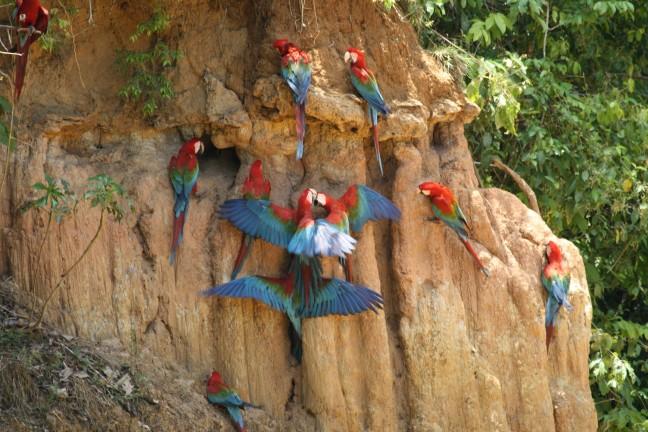 Papagaaien op klei wand.
