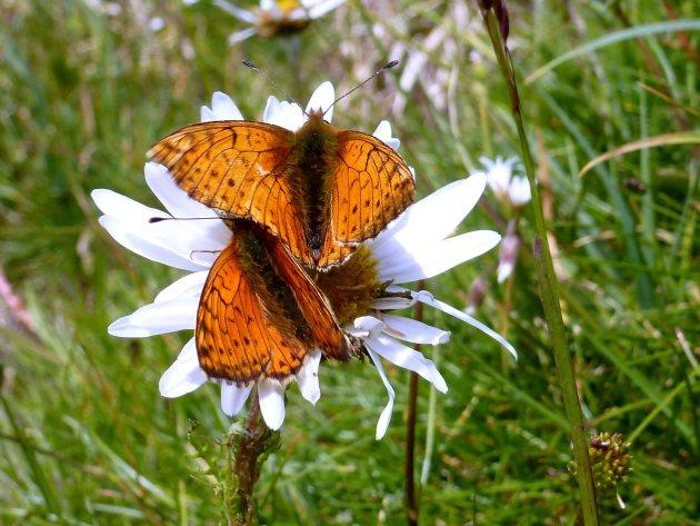 vlinders op een plant