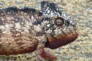 Giant Madagaskar Chameleon