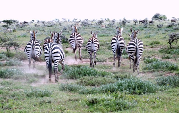 vluchtende zebra's