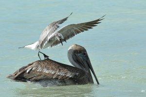 meeuw op pelikaan