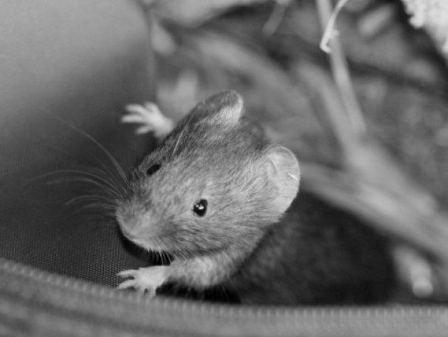 Wilde muis in de tas