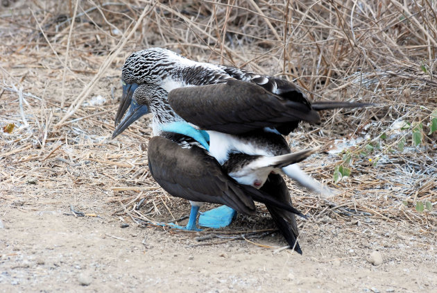 Blauwvoetgent of  Blue-footed Booby