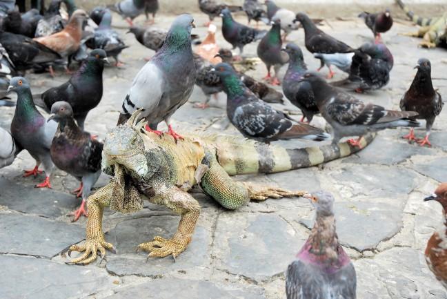 Massas Leguanen en duiven in Parque Seminario