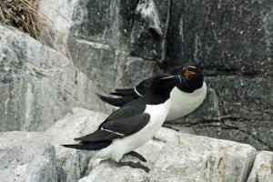 Alken op de rotsen van één van de Farne Islands