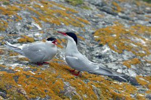Noorse sterns op de Farne Islands