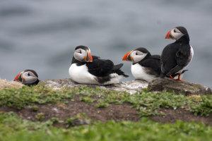 Papegaaiduikers, mannengroepje op de Farne Islands