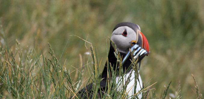 Papegaaiduiker in het gras op de Farne Islands
