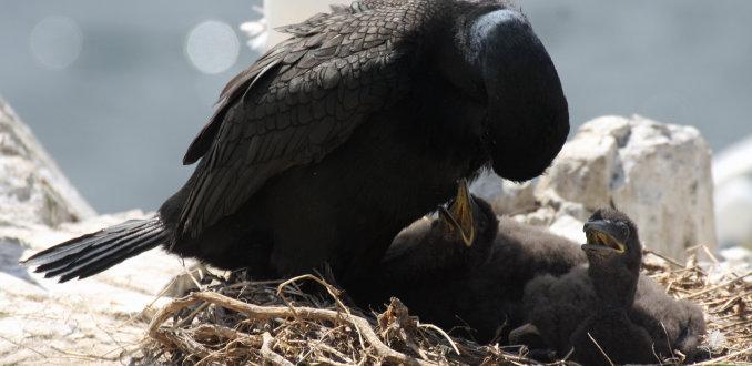 Kuifaalscholver voert jongen (Shag) op de Farne Islands