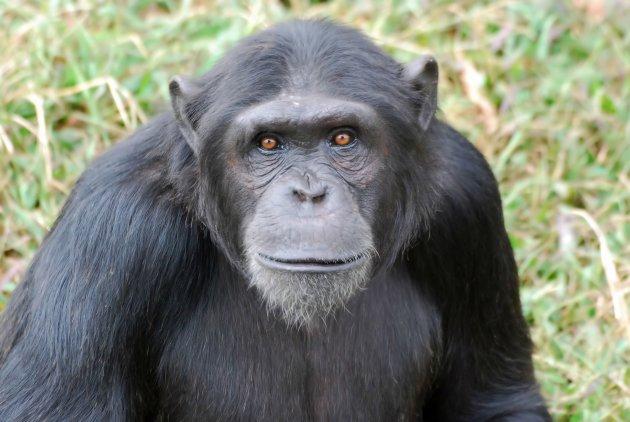 Chimpansee op Ngamba Island