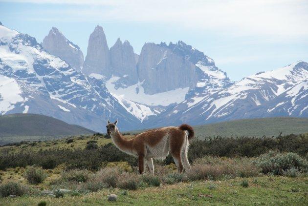 Vicuñia op de voorgrond van de Torres del Paine