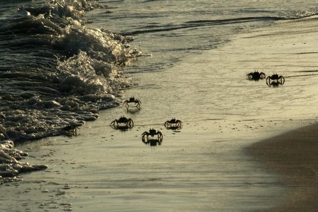 Landkrabben, Golf van Aden
