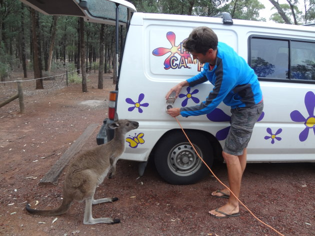 Huiskangaroo inspecteert of Luc de electriciteit goed aansluit