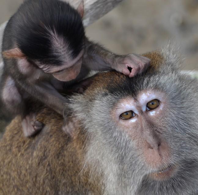 leefgebied voor apen