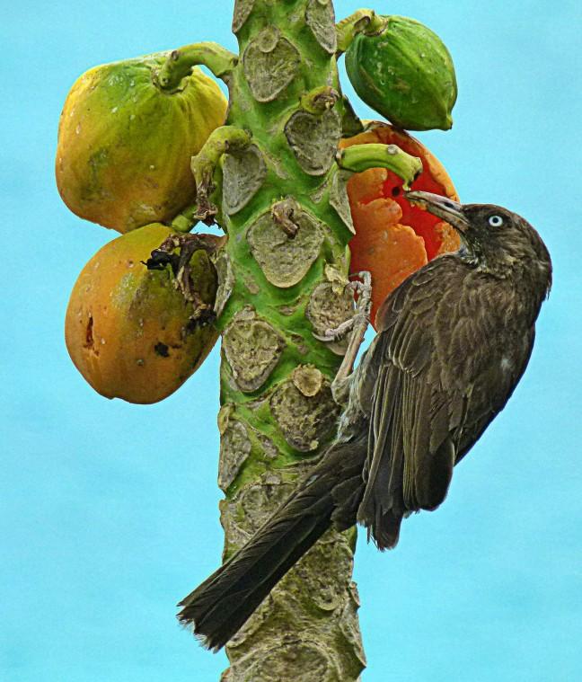 Witoogspotlijster