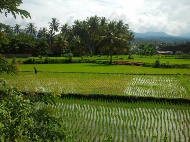 Oneindige rijstvelden