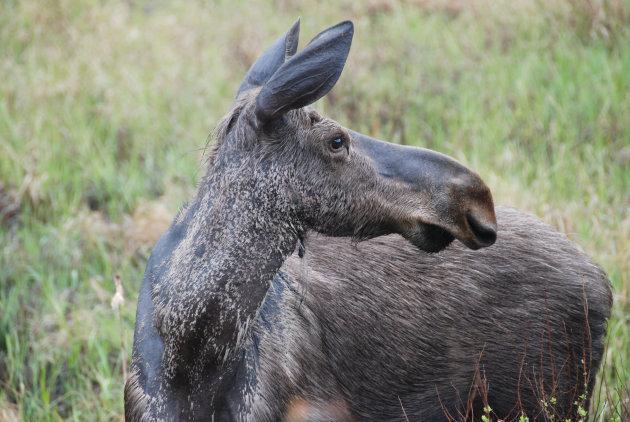 Eland in Algonquin Provincial Park