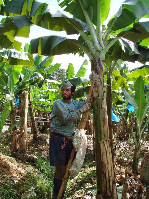 Bananenplukker